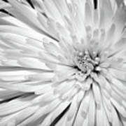 White Chrysanthemum Poster