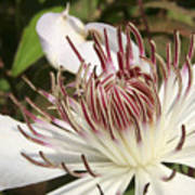White Clematis Henryi Poster