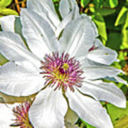 White Clematis Yellow And Purple Throat Poster