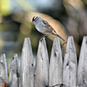 White-crowned Sparrow 3 Poster
