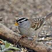 White Crowned Sparrow With Seeds Poster