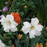 White Daffodills Poster