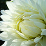 White Dahlia Flower Art Print Canvas Floral Dahlias Baslee Troutman Poster