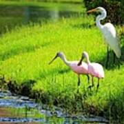 White Egret And Roseate Spoonbills Poster