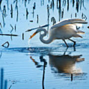 White Egret At Horicon Marsh Wisconsin Poster