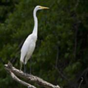 White Egret-signed-#0493 Poster