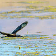 White Face Ibis In Flight 2 Poster