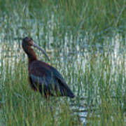 White-faced Ibis In Idaho Poster