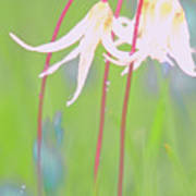 White Fawn Lilies In The Rain Poster