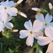 White Floral Lights Poster