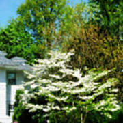White Flowering Tree Poster
