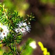 White Flowers Of Kunzea Ambigua Poster