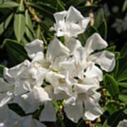 White Flowers On Green Leaves Poster