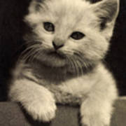 White Fluffy Kitten Poster