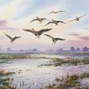 White-fronted Geese Alighting Poster by Carl Donner