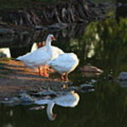 White Geese In A Park With Water Reflection Poster
