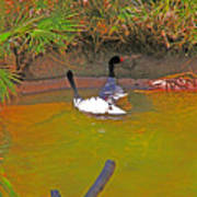 White, Geese, On, Pond Poster