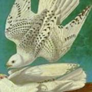 White Gyrfalcons Poster
