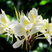 White Hawaiian Flowers Poster