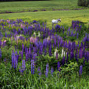 White Horse In A Lupine Field Poster
