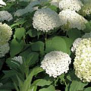 White Hydrangea Bush Poster