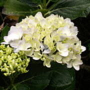 White Hydrangeas Poster