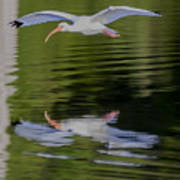 White Ibis And Reflection Poster
