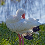 White Ibis Dries Off Poster