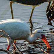 White Ibis Eating Poster