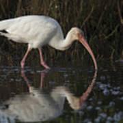 White Ibis Feeding In Morning Light Poster