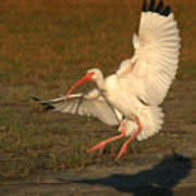 White Ibis Landing Upon Ground Poster