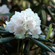 White Inflorence Of  Rhododendron Plant Poster