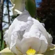 White Iris Flower Art Prints Canvas Irises Artwork Poster