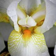 White Iris Study No 1 Poster