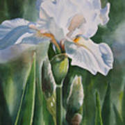 White Iris With Bud Poster by Sharon Freeman