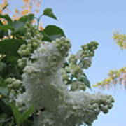 White Lilac Poster