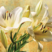 White Lilies On Amber Poster
