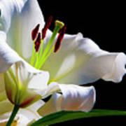 White Lilium Poster