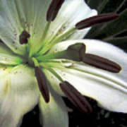 White Lilly Equalized Poster