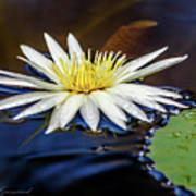 White Lily On Pond Poster
