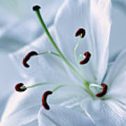 White Lily Triptych Part2 Poster