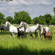 White Lipizzaner Mares Horse Breed With Dark Foals Grazing In A  Poster