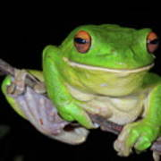 White-lipped Tree Frog Poster