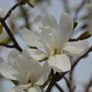 White Magnolia Blooming In Spring Poster