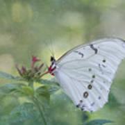 White Morpho Butterfly Poster
