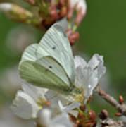 White Moth On Blossom Poster