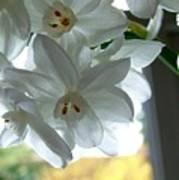 White Narcissi Spring Flower Poster