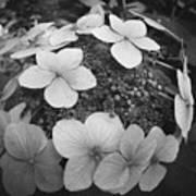 White On Black Hydrangea Petals Poster