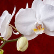 White Orchid Closeup Poster