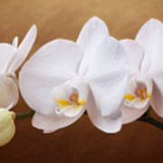 White Orchid Flowers And Bud Poster